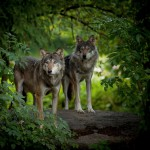 "Thomas Detzner ""Wolves"""