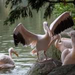 "Thomas Detzner ""Pelicans"""