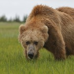Bär in Alaska