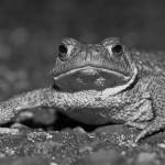 Manfred Eimers - Erdkröte