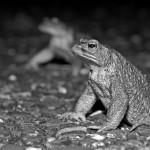 Manfred Eimers - Erdkröten