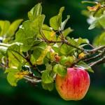 Thomas Seethaler - Apfel