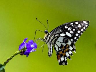 Eckhard Koch - Schmetterling