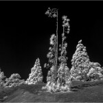 Peter Ramge - Kiefern auf dem Teide