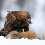 """Bild Nr. 10 - Krötzsch - Adler und Fuchs - 73 Sterne - MW 4,87 - Bestes Foto Thema """"Winter"""""""