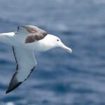Wanderalbatros über der Südantillensee