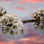 Bild 1 - Koch - Apfelblüte - 42 Sterne - MW 3,00