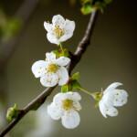 Bild 6 - Detzner - Frühjahrs-Blüten - 42 Sterne - MW 3,00