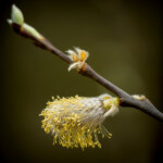Bild 28 - Detzner - Blüten der Schwarzerle - 49 Sterne - MW 3,50