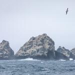 Schwarzbrauenalbatros vor Shag-Rocks