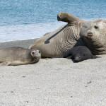 Drei Arten Seeelefanten